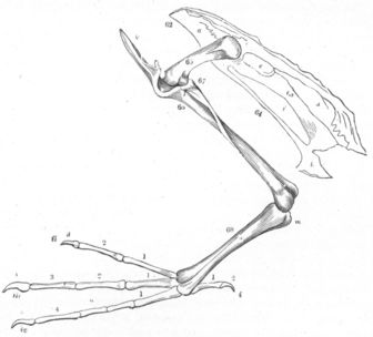 pelvis and hinf limb of diver