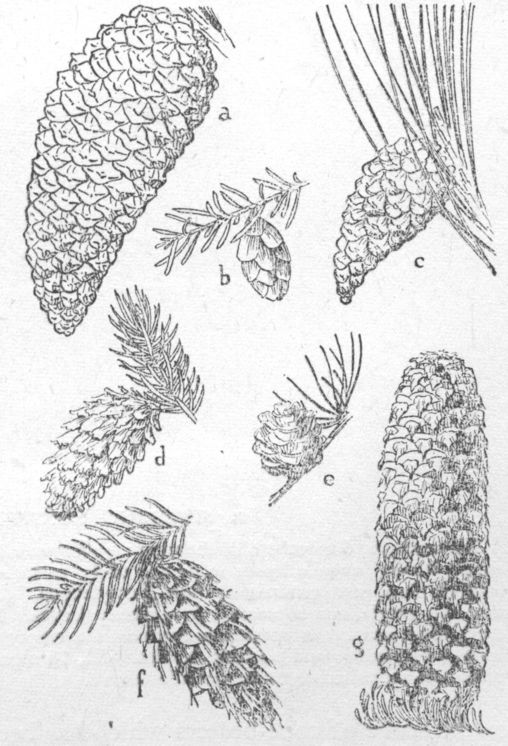 cones of important introduced conifers